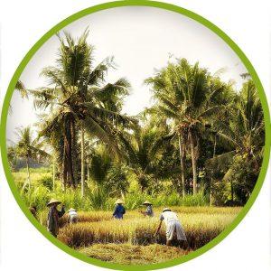 Kratom Indonesien